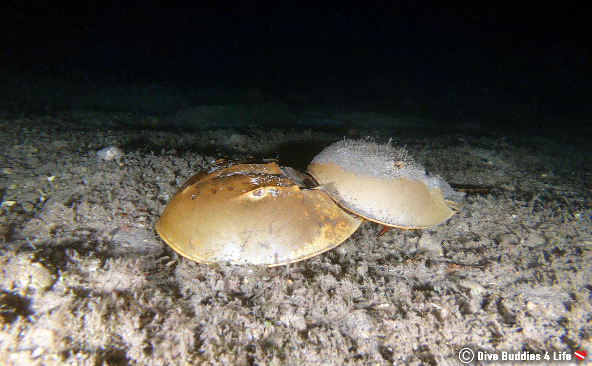 Two Mating Horseshoe Crabs At Blue Heron Bridge Photographed With A GoPro Camera, USA