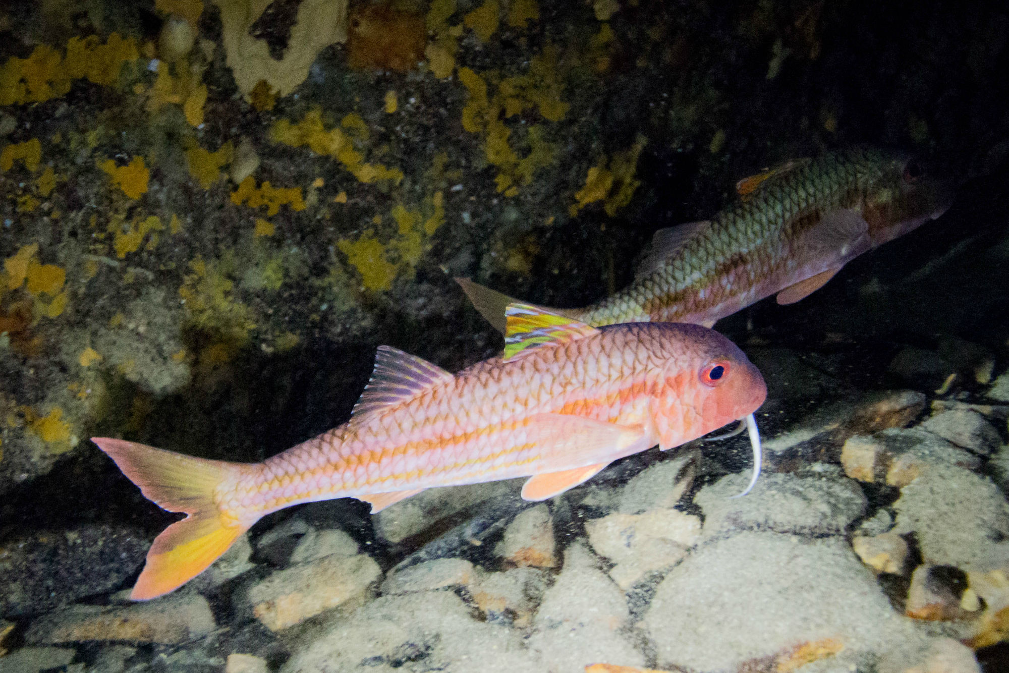 Two Pink Mullets in the Lokrum Cave in Croatia