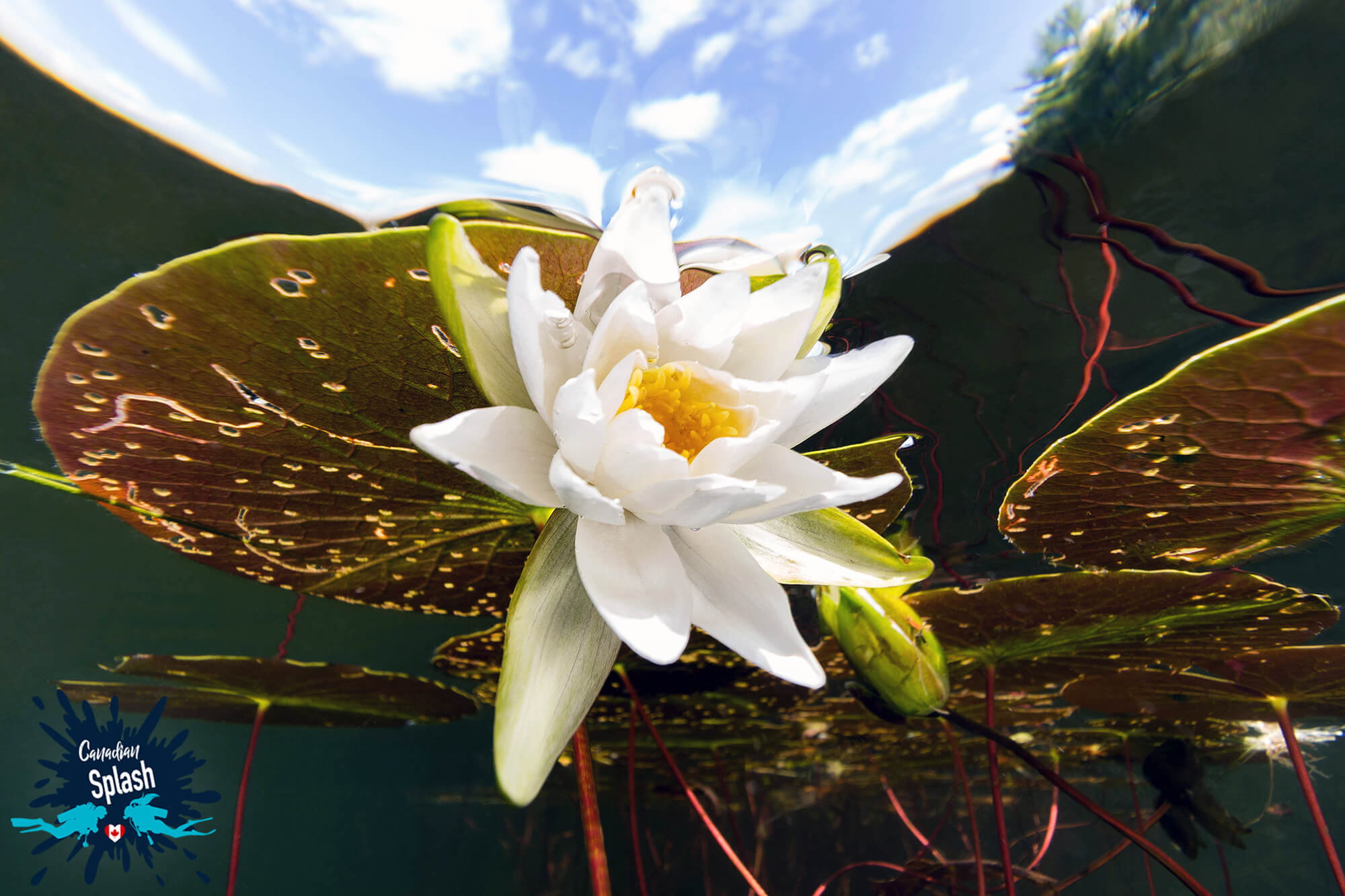 Water Lily At The Surface Of The Lake In Finlayson Point Provincial Park, Temagami, Ontario, Scuba Diving Canada