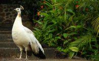 White Peacock at the Mud Baths