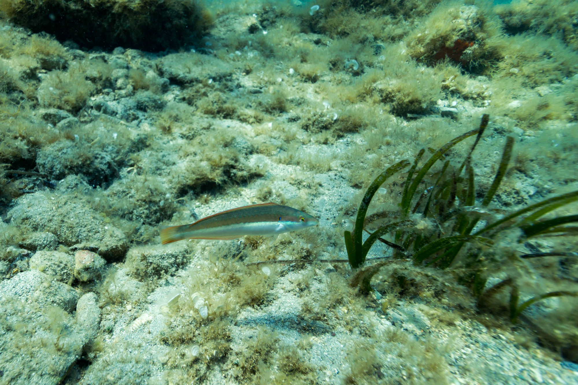 Wrasse And Some Seagrass