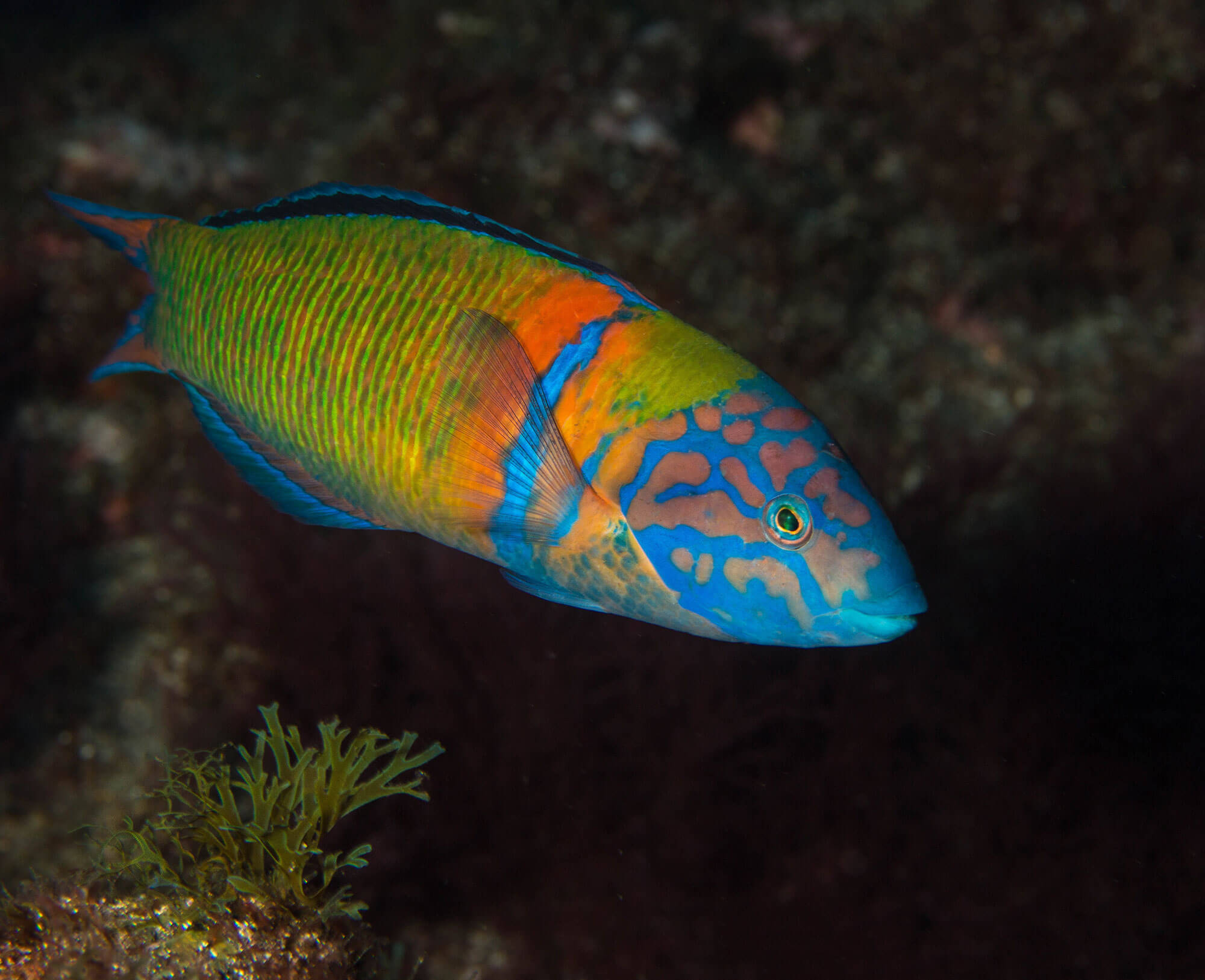 Wrasse Taking A Look At The Camera in the Azores