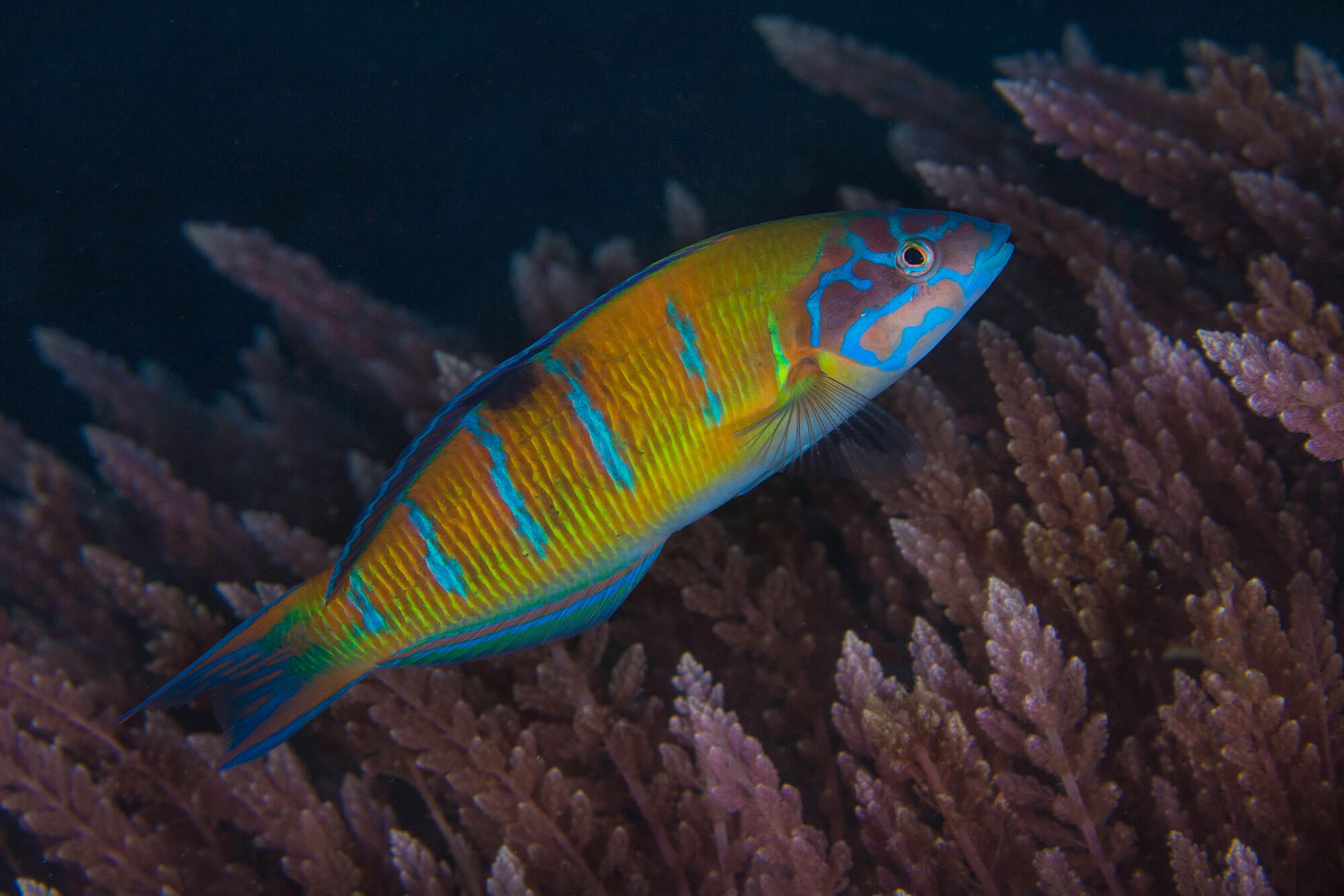 Wrasse With Pink Seaweed at Cozina Dive site