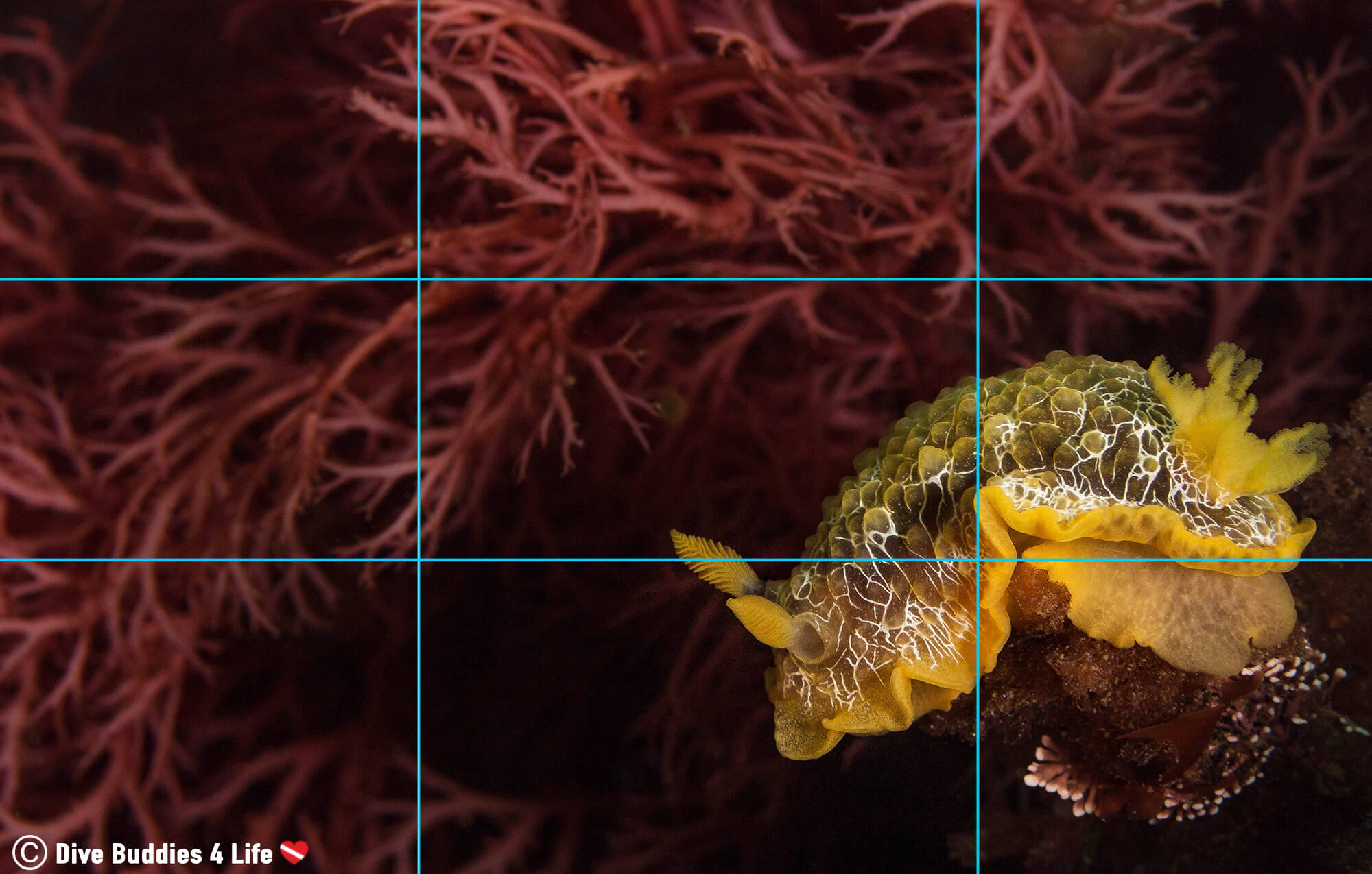 Yellow Nudibranch From Peniche Displaying The Photography Rule Of Thirds Composition