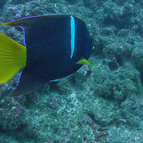 Approaching a Yellow and Purple Fish Underwater in Costa Rica