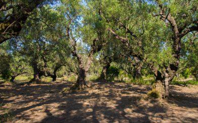 Zakynthos Olive Orchard Tree's