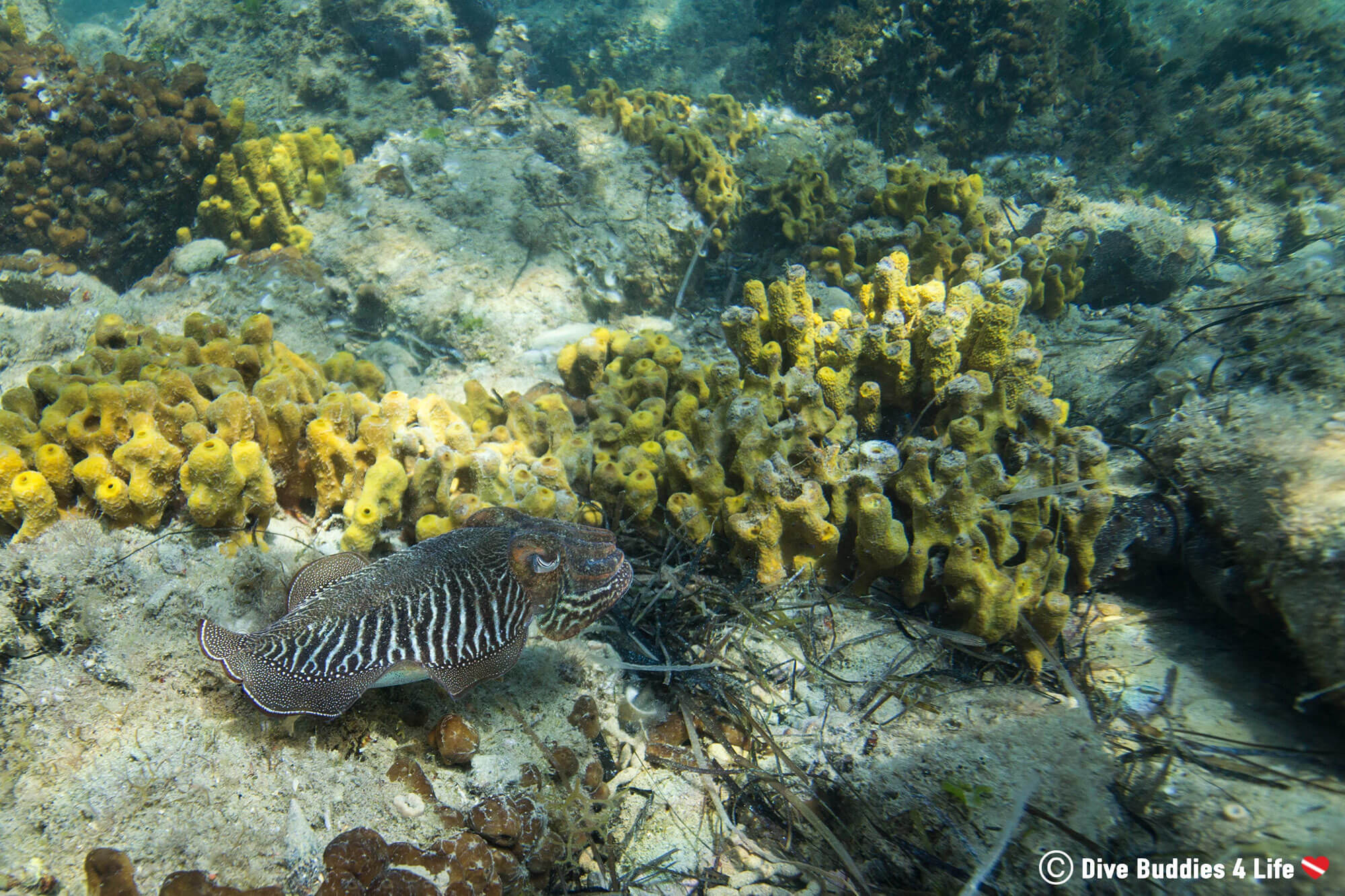 Zebra Patterned Cuttlefish Swimming Over The Sponge Reef In Slovenia