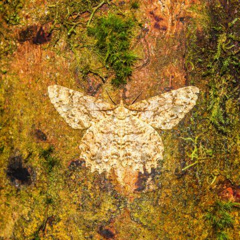 Camouflaged Mariposa