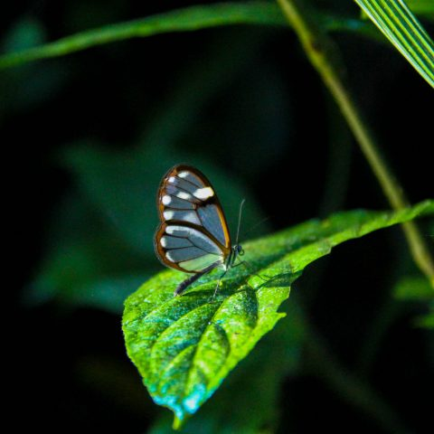 Clear Winged Mariposa