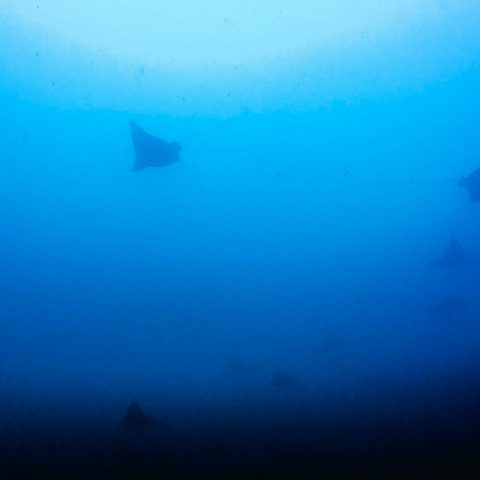 Scuba Diving Bat Islands with Some Eagle Rays in the Distance