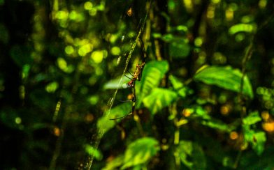 Golden Orb Spider Side