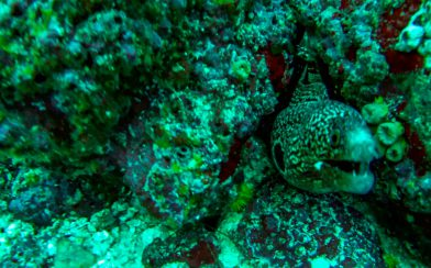 Scuba Diving Peek-a-boo with a Snowflake Moray