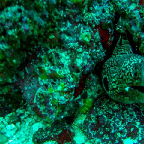 Scuba Diving Peek-a-boo with a Snowflake Moray