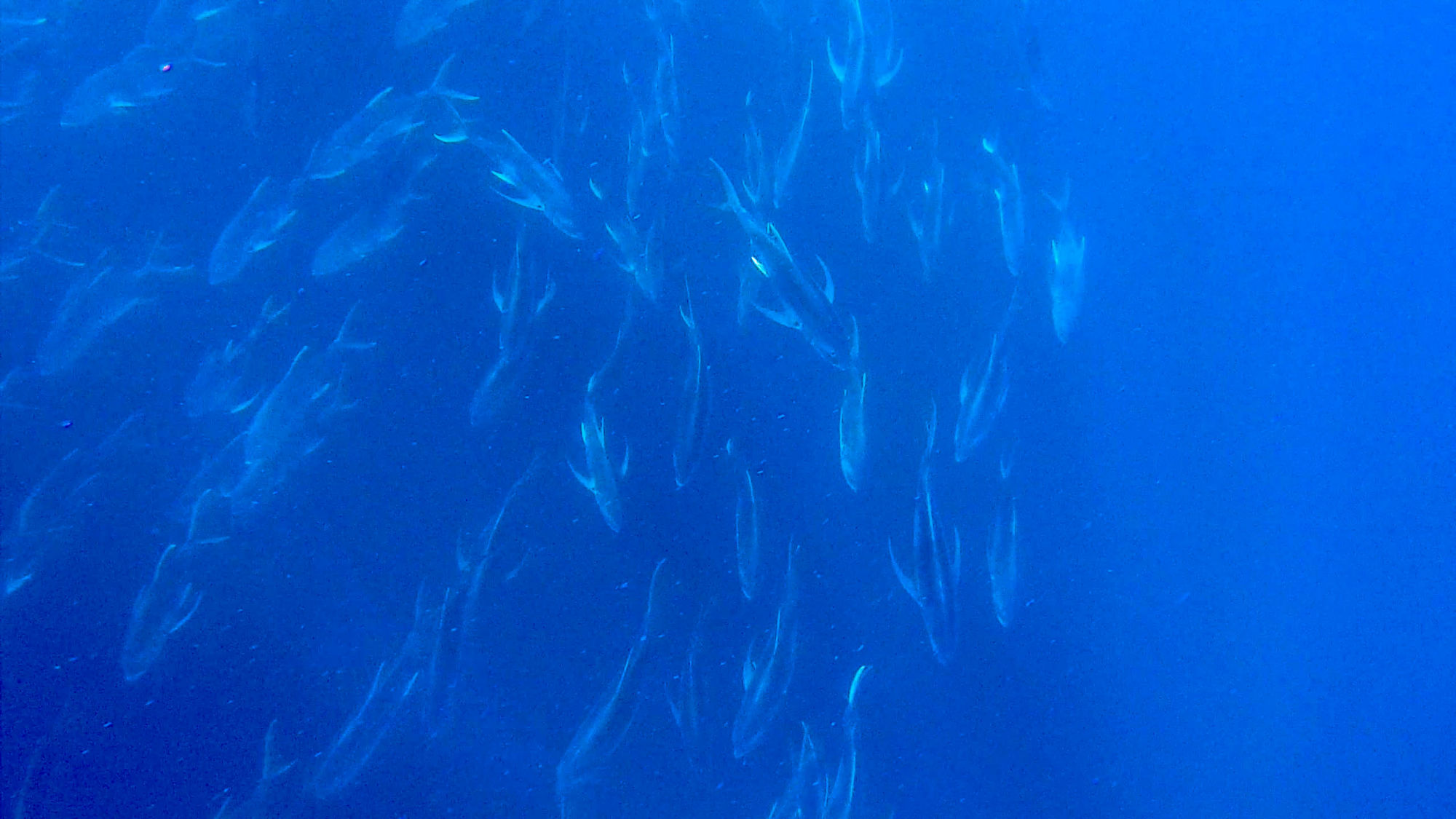 A School of Pacific Crevalle Jacks after Surfacing from the Scuba Dive in Costa Rica
