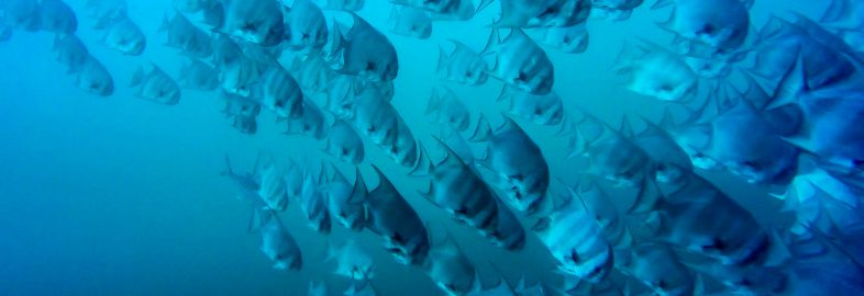 A School of Spadefish Underwater at Bat Islands