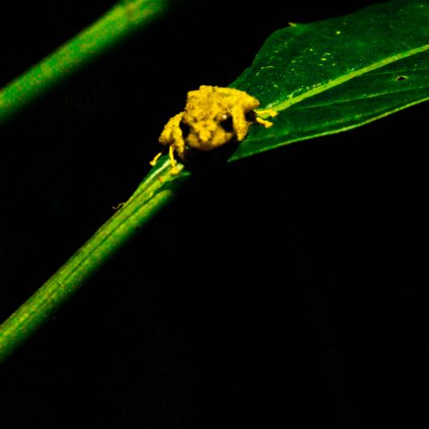 A Little Beastly Yellow Tree Frog on Leaf in Costa Rica